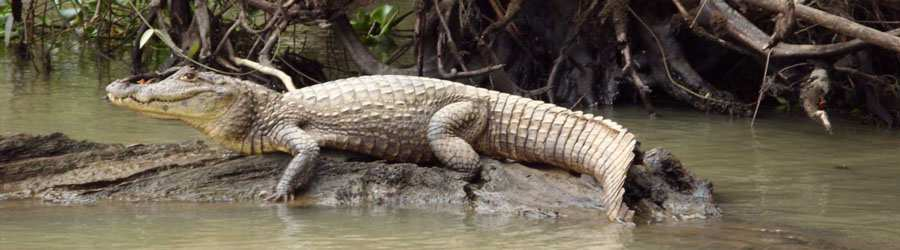 Tarcoles River Crocodile Safari Tour